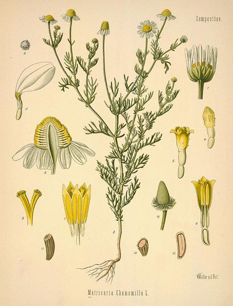diagram of dahlia backyard medicine chamomile traditional roots institute diagram of price elasticity of demand