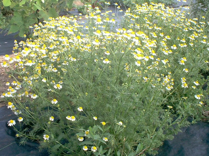 Backyard Medicine Chamomile Traditional Roots Institute
