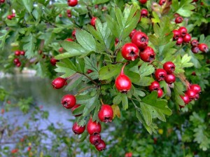 Crataegus spp., berries