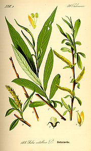 willow_botanical_drawing
