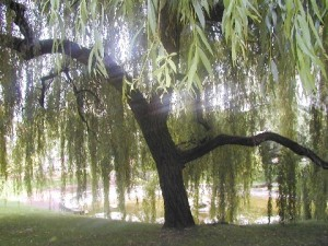willow_tree