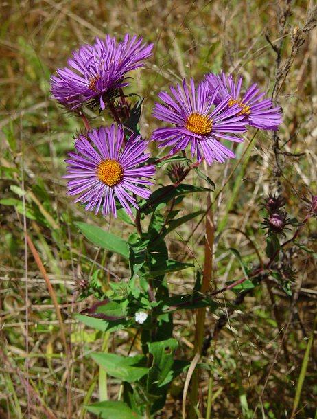 Aster novae angliae - Aster pianta ...