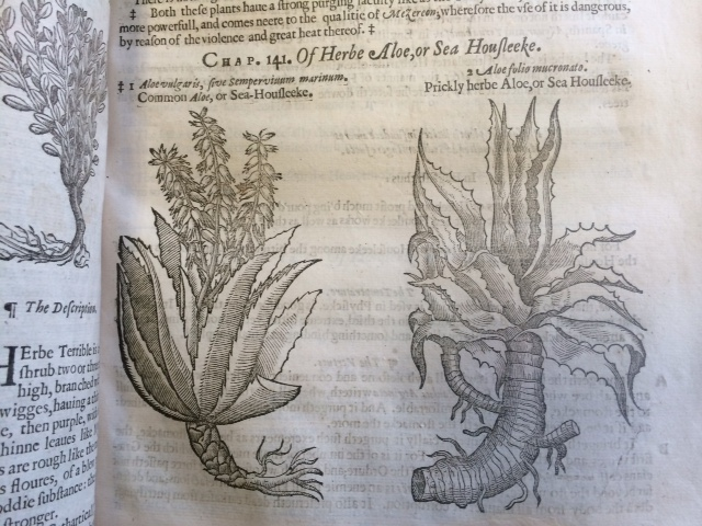 """Chap. 141. Of Herbe Aloe, or Sea Houfleeke."""