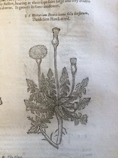 """""""Hieracium Dentis leonis folio hirsutum. Dandelion hawkweed."""""""