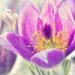 Conf_pasque_flower