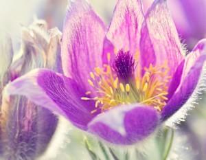 Conf_pasque_flower