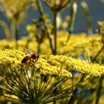 bee on fennel