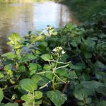watercress | first greens of the season | wildfood | wildmedicine | Traditional Roots Institute