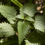 Urtica dioica | First Greens of the Season | Traditional Roots Institutes | nettles for hayfever and allergies